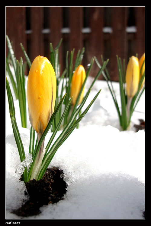 """photo """"Snow of April"""" tags: nature, flowers"""