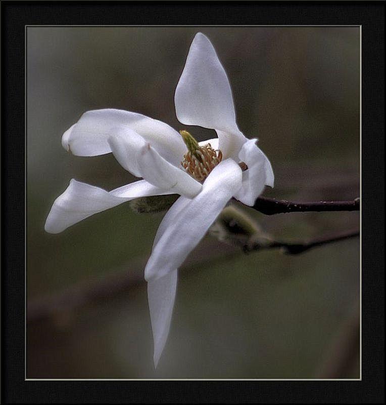 "photo ""magnolia denudata"" tags: nature, flowers"
