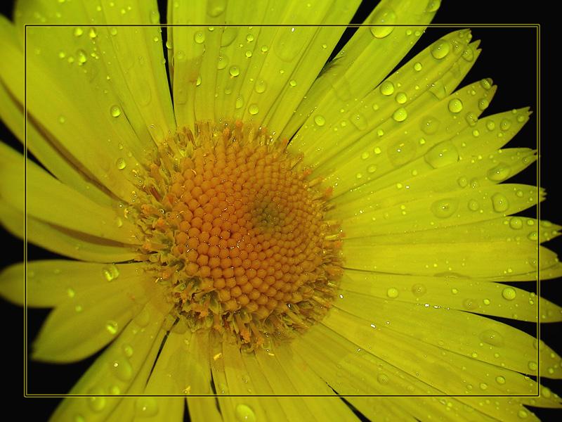 """фото """"Yellow"""" метки: природа, макро и крупный план, цветы"""