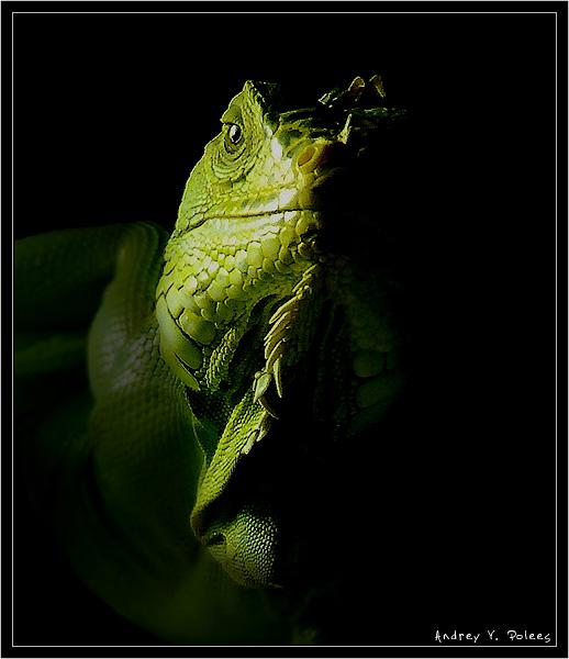 """фото """"Портрет ящера"""" метки: портрет, природа, дикие животные"""