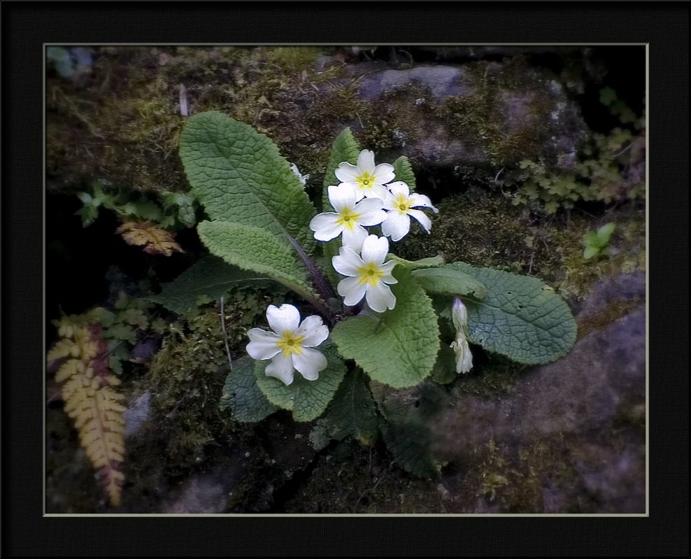 "photo ""primrose on a wall"" tags: nature, flowers"