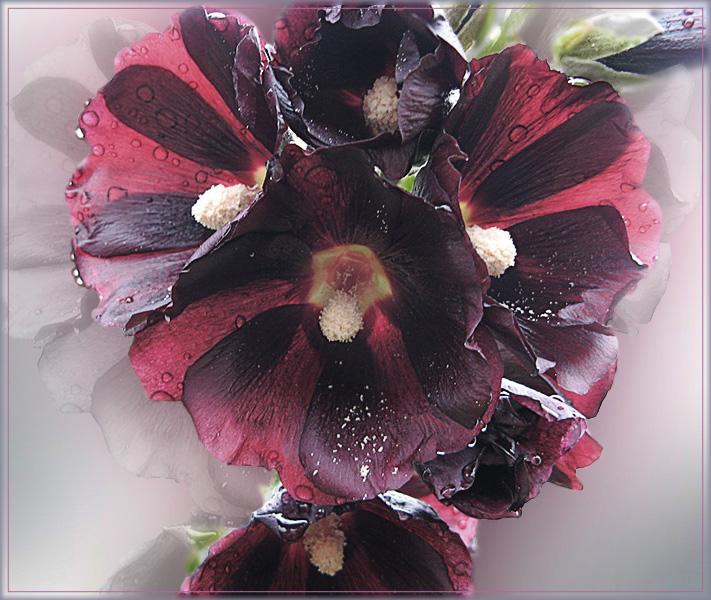 """фото """"Черная мальва"""" метки: природа, цветы"""