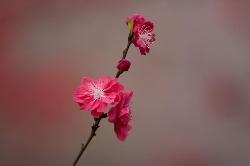 """photo """"Red Sakura"""" tags: nature, flowers"""