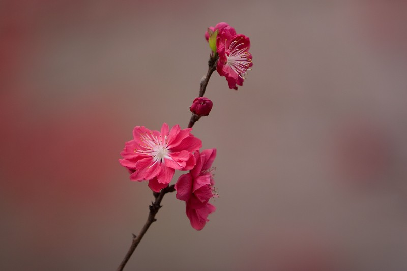 "фото ""Red Sakura"" метки: природа, цветы"