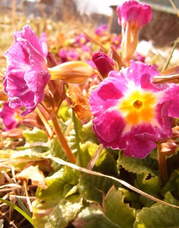 """фото """"Первоцветы"""" метки: природа, макро и крупный план, цветы"""