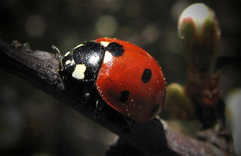 "photo ""lady-bird"" tags: macro and close-up,"