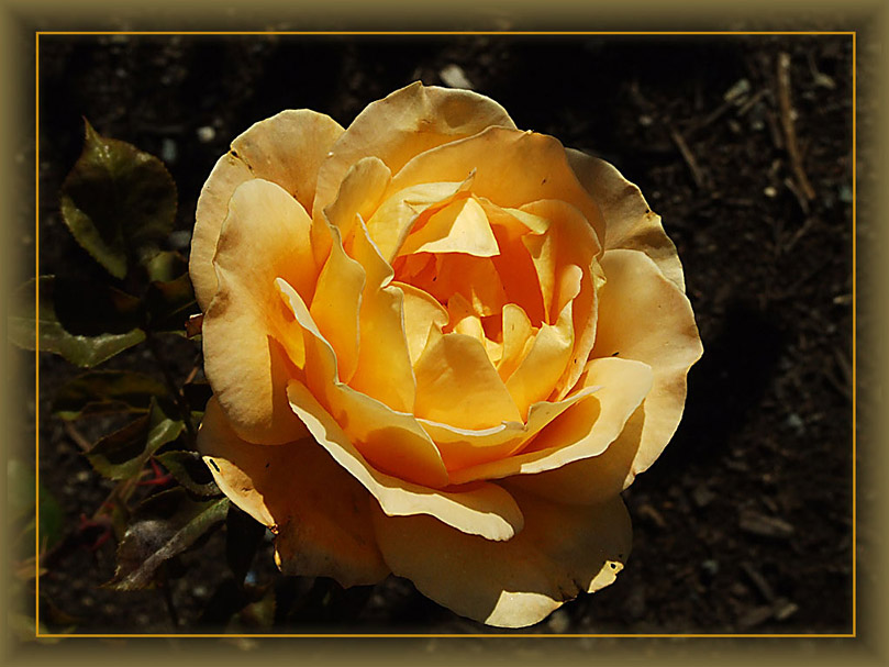 """photo """"Yellow Rose"""" tags: nature, flowers"""