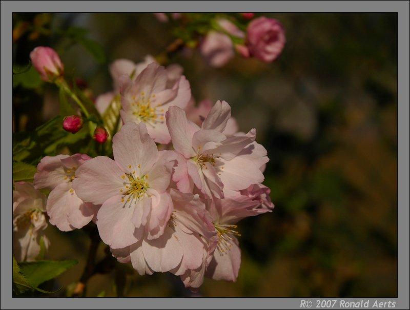 "фото ""Japanese cherry tree"" метки: природа, макро и крупный план, цветы"