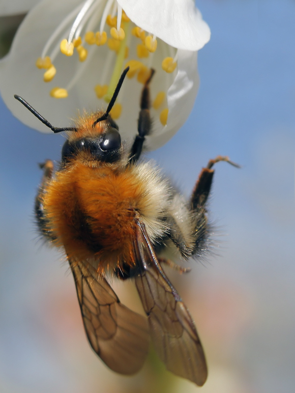 """фото """"One-handed pollination"""" метки: макро и крупный план, природа, насекомое"""
