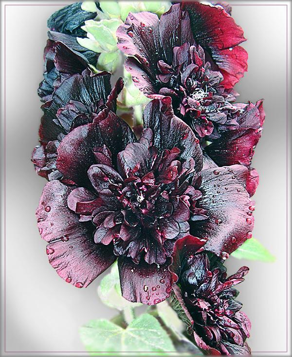 """фото """"Черная мальва махровая"""" метки: природа, цветы"""