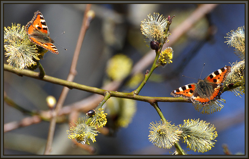 """photo """"Nectar early spring"""" tags: nature, flowers, insect"""