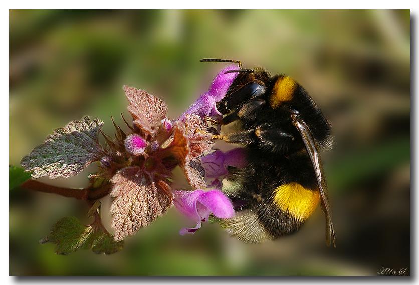"""фото """"С рюкзачком на спине..."""" метки: природа, макро и крупный план, насекомое"""