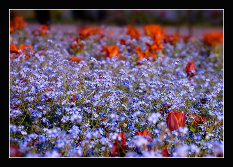 "фото ""Forget me not!"" метки: природа, цветы"
