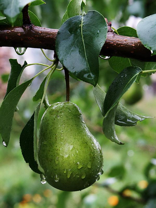 "фото ""груша после дождя"" метки: природа,"