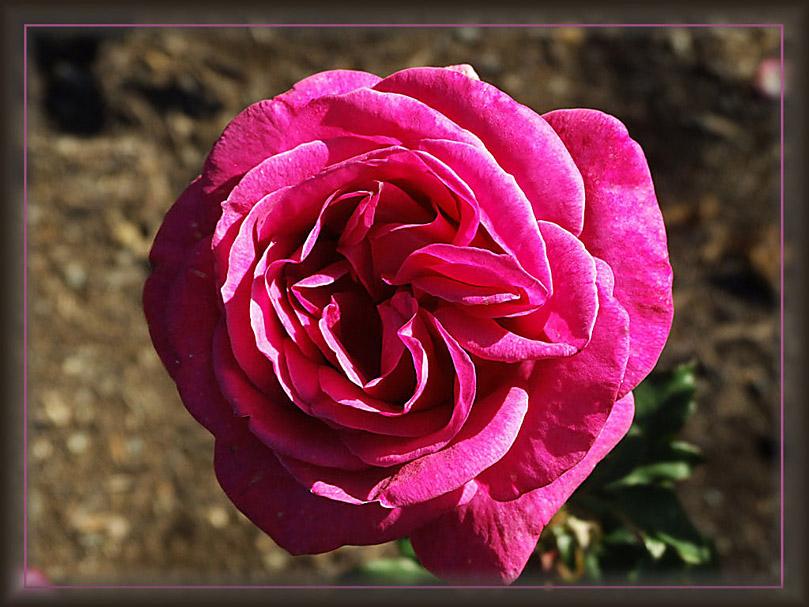 """фото """"Pink Rose"""" метки: природа, цветы"""