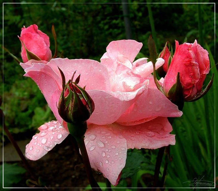"""фото """"Кавалеры."""" метки: природа, макро и крупный план, цветы"""
