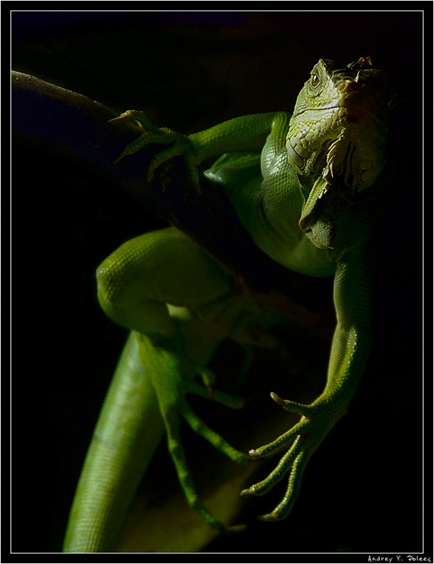 "фото ""Игуана"" метки: природа, дикие животные"