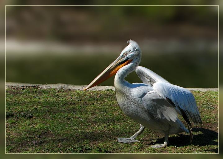 """фото """"старший по пруду:)"""" метки: природа, дикие животные"""