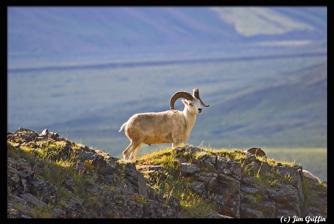 "фото ""Just another Dall"" метки: природа, дикие животные"