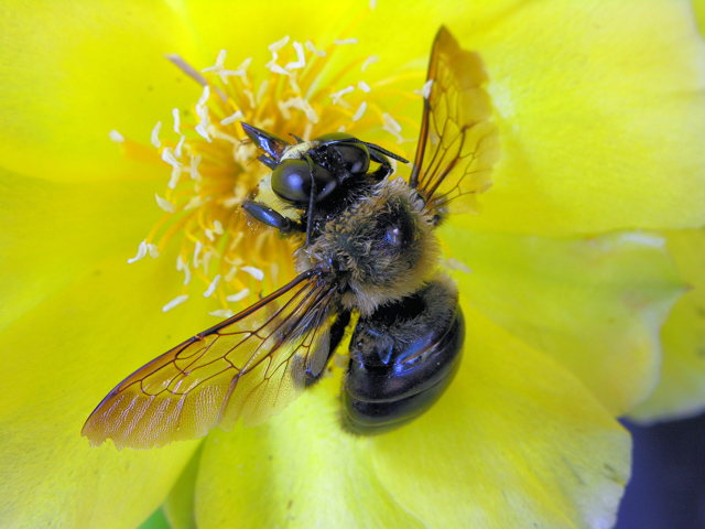 """фото """"Carpenter bee on cactus flower"""" метки: макро и крупный план, природа, насекомое"""