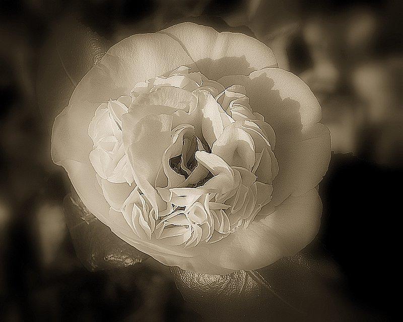 "фото ""The white rose ..."" метки: природа, цветы"
