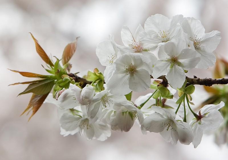 """фото """"White Sakura"""" метки: природа, цветы"""
