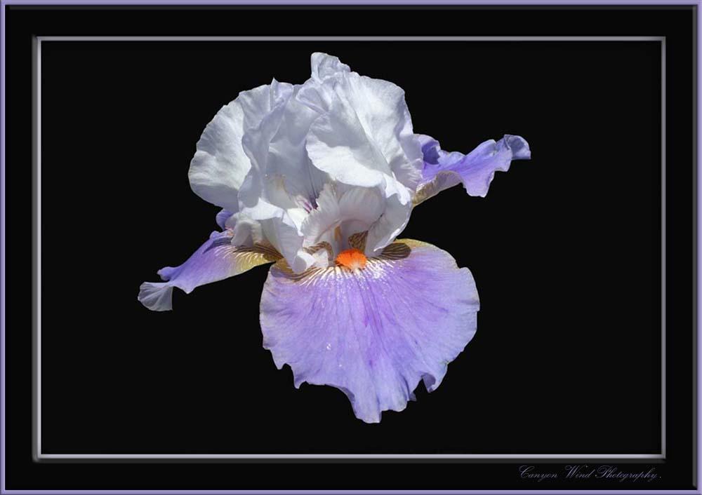 "фото ""The Queen of flowers !"" метки: природа, путешествия, Северная Америка, цветы"