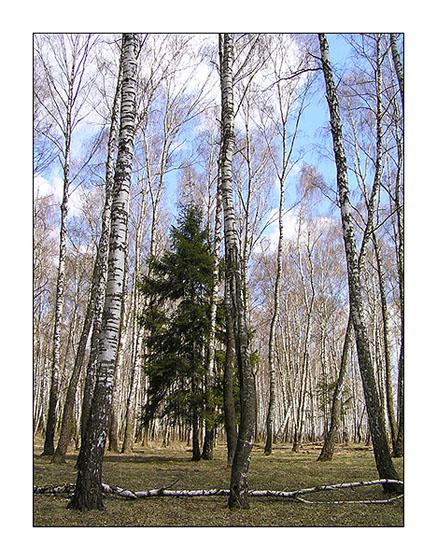 """фото """"В березовой западне."""" метки: пейзаж, лес"""