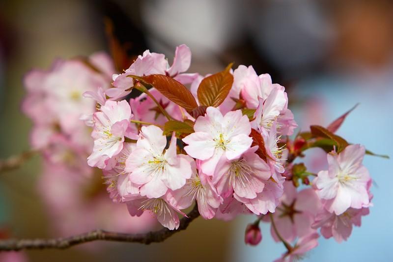 """фото """"Pink Sakura"""" метки: природа, цветы"""
