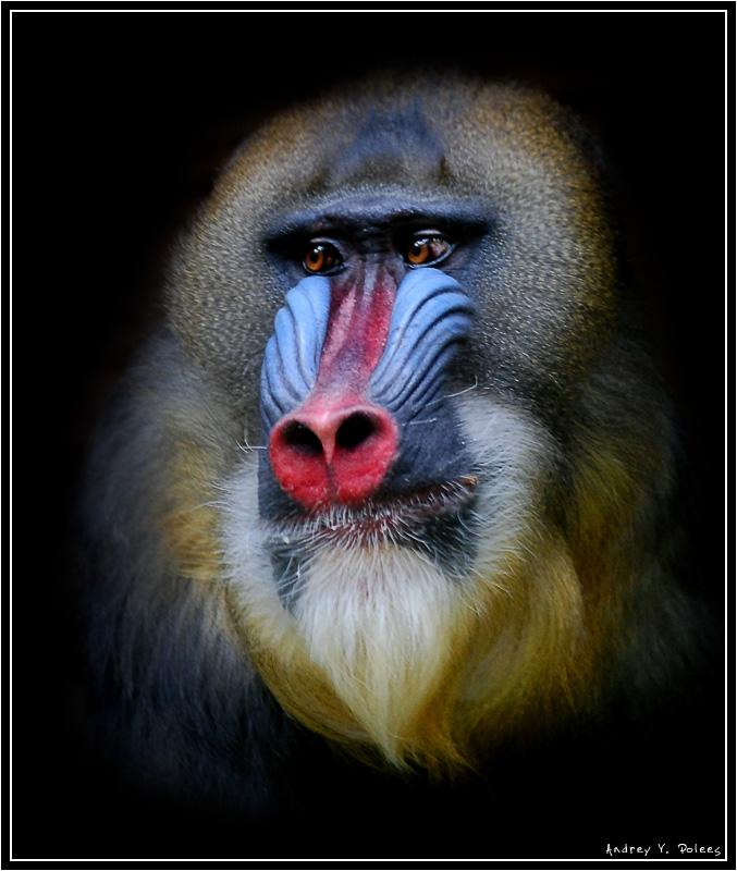 """фото """"Портрет маслом /Мадрил/"""" метки: природа, портрет, дикие животные"""