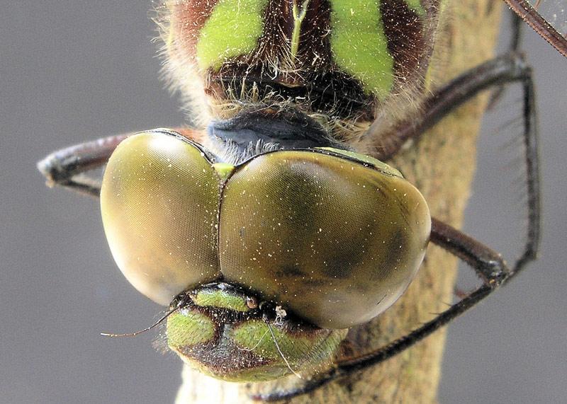 """фото """"Dragonfly"""" метки: макро и крупный план, природа, насекомое"""