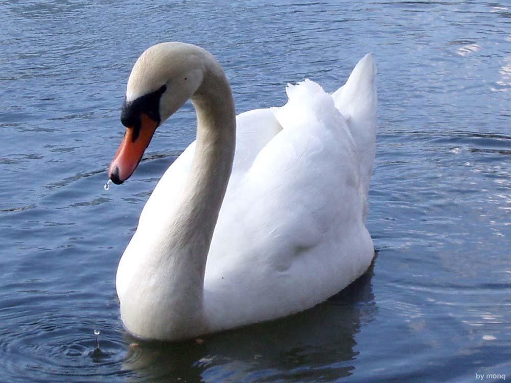 """фото """"swan"""" метки: природа, домашние животные"""