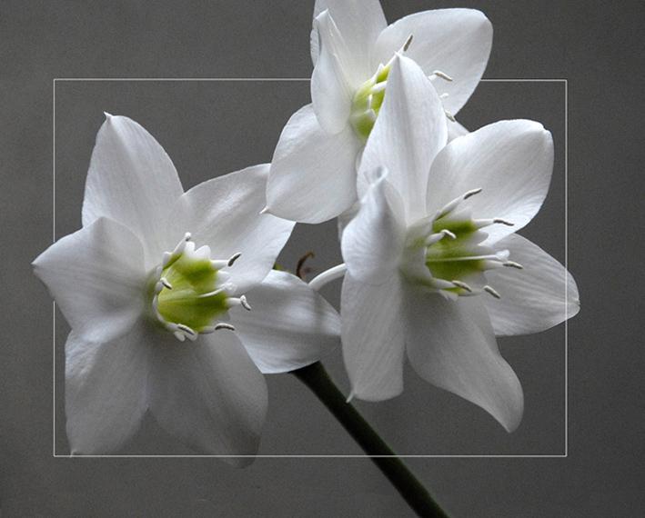 "photo ""Eucharis grandiflora"" tags: nature, flowers"