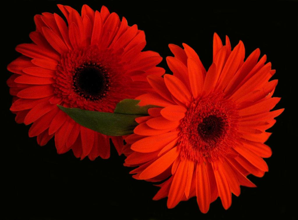"""фото """"Красное на черном"""" метки: природа, макро и крупный план, цветы"""