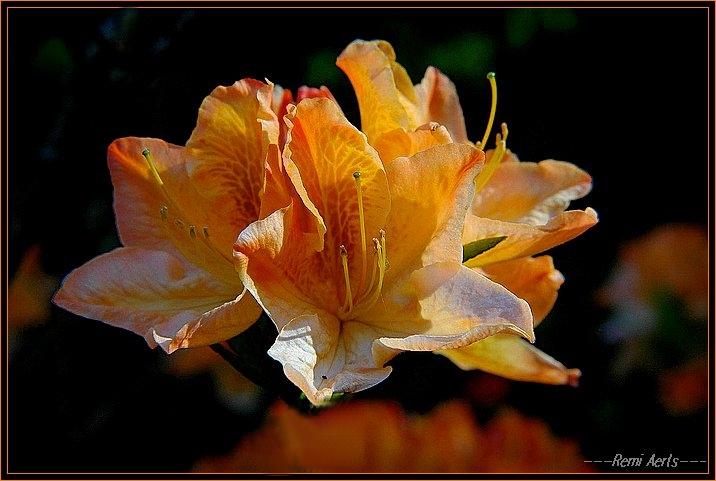 "фото ""love and flowers ,i like it!"" метки: природа, макро и крупный план, цветы"