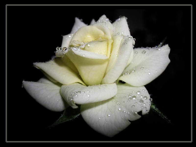 "фото ""silver"" метки: природа, цветы"