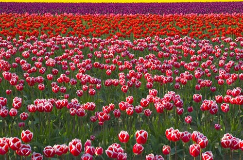 """photo """"Tulip Field"""" tags: landscape, nature, flowers, spring"""