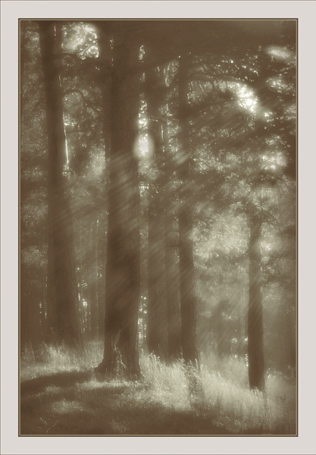 """photo """"Morning etude with pines"""" tags: nature, landscape,"""