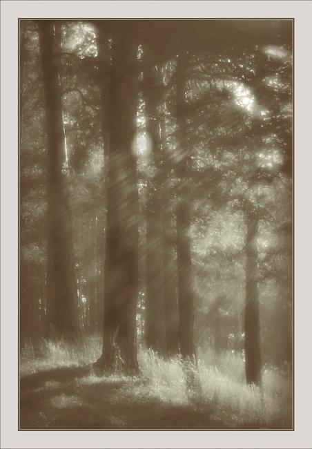 """фото """"Утренний этюд с соснами"""" метки: природа, пейзаж,"""
