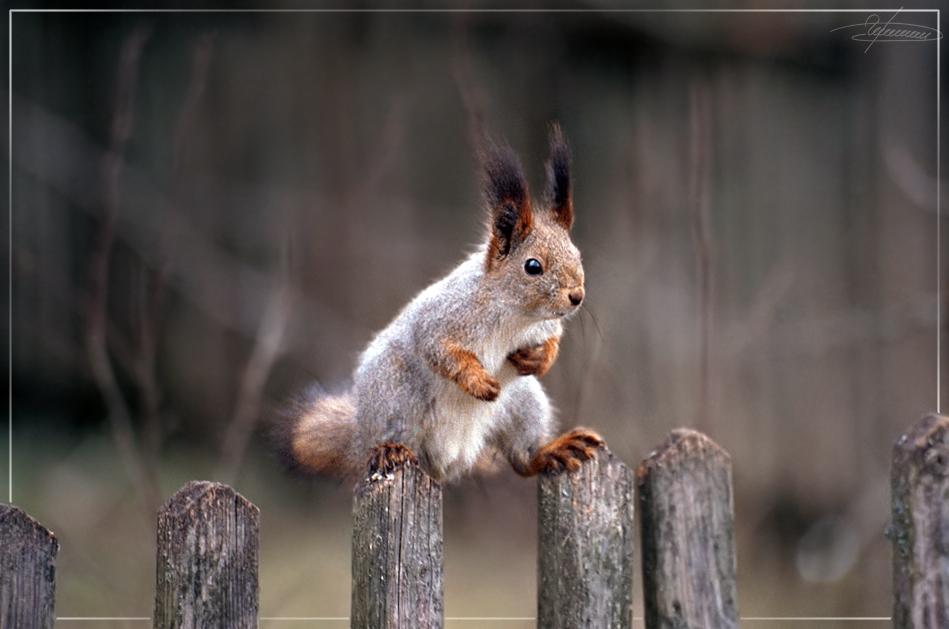 """фото """"Эквилибрист."""" метки: природа, дикие животные"""