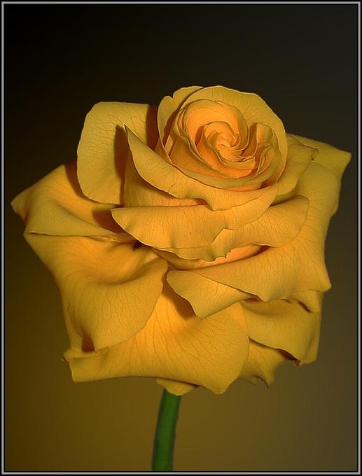 """фото """"Анатомия розы"""" метки: макро и крупный план, природа, цветы"""