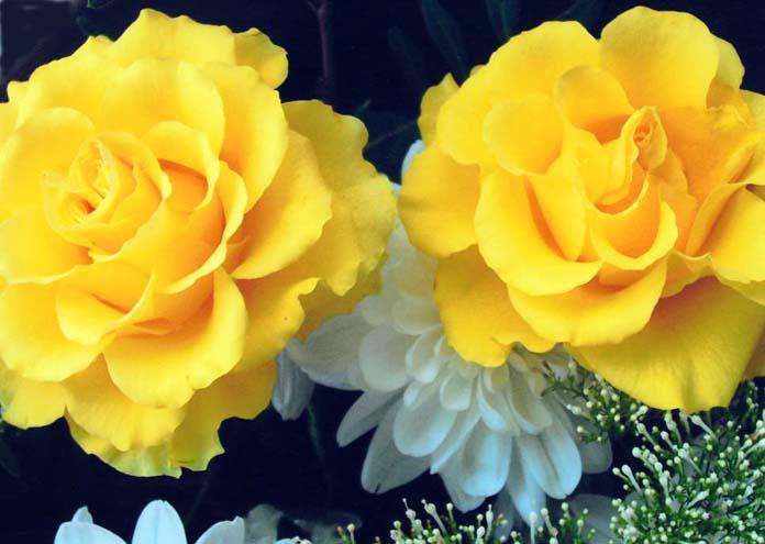 """фото """"Rose """" Sutters Gold """""""" метки: природа, макро и крупный план, цветы"""