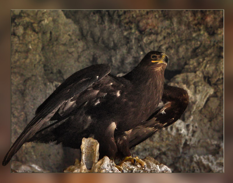 "photo ""степной орел"" tags: nature, wild animals"