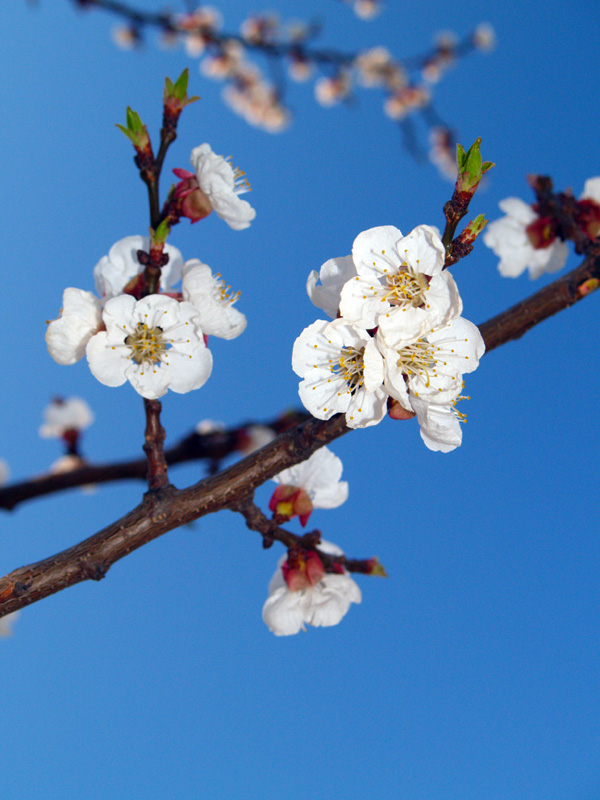 """photo """"Cherry flower"""" tags: nature, flowers"""