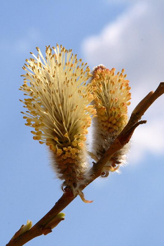 "фото ""Весенний салют"" метки: природа, цветы"