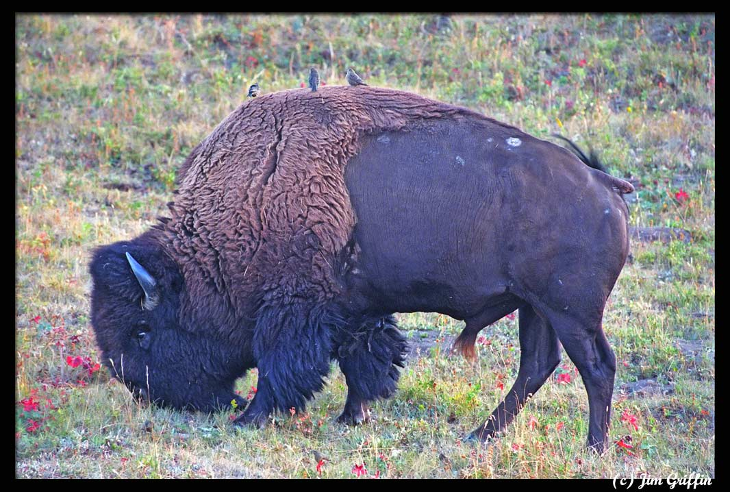 """photo """"The bison and the bird"""" tags: nature, wild animals"""
