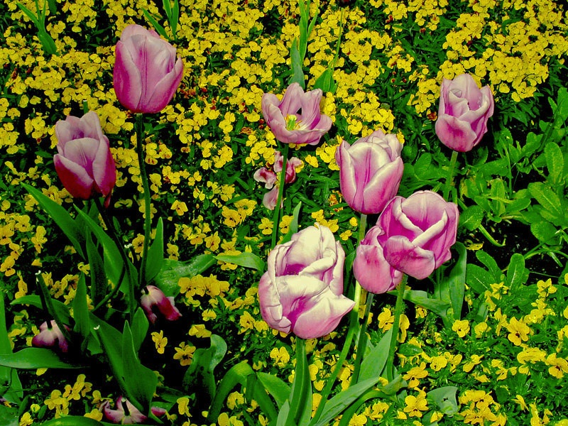 """photo """"Pink Tulips"""" tags: nature, flowers"""