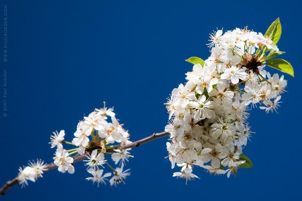 """фото """"Вишневый Цвет"""" метки: природа, макро и крупный план, цветы"""