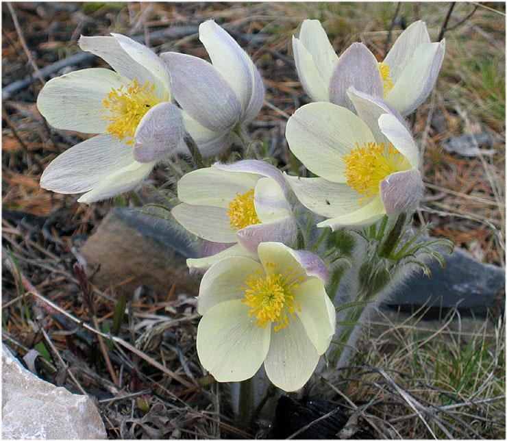 """фото """"Подснежники"""" метки: природа, цветы"""