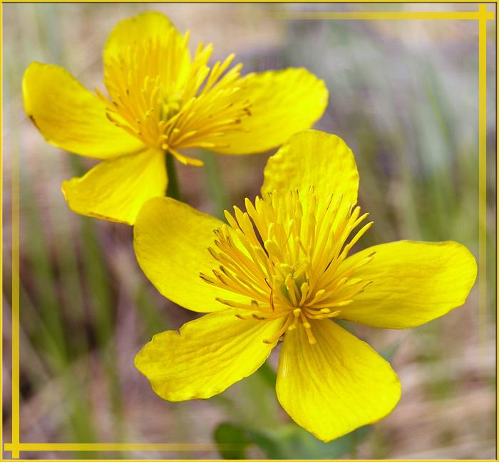 """фото """"Yellow flowers"""" метки: природа, макро и крупный план, цветы"""